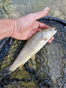Brown Trout — Brousse  Anthony