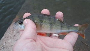European Perch — Rv Morvau