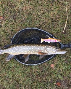 Northern Pike — les2 mordus