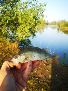 European Perch — Ju Fisherman