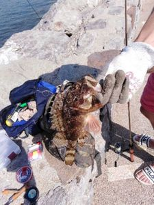 Brown Scorpionfish — Tom Qannafish