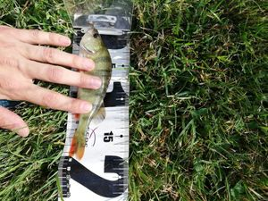 European Perch — Paul Lttd 'CCBM'