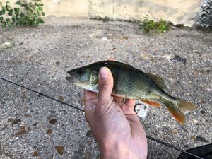 European Perch — matthieu pohu