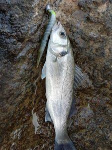 European Bass — Thomas Gilles