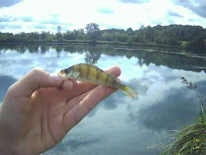 European Perch — Rod fishing .