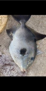 Triggerfish — Adrien Casagrande