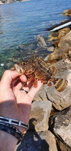 Brown Scorpionfish — Thibault Dominguez