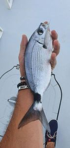 Saddled Seabream — Thibault Dominguez