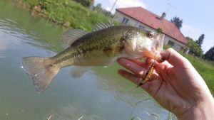 Largemouth Bass — cheuvrautique