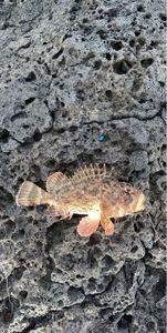 Brown Scorpionfish — Clément Larroque