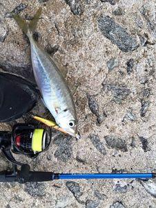Greenback Horse Mackerel — Fishing Troll Spinning