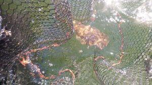 Common Cuttlefish — Eric Pouriel