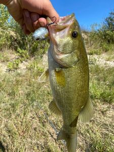Largemouth Bass — Mathis Dorce