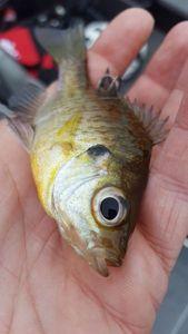 Redear Sunfish — Tanguy Marlin