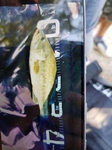 Largemouth Bass — Richard Cornette