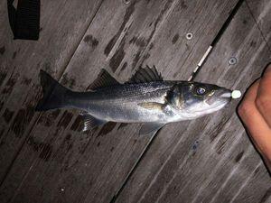 European Bass (Seabass) — Quëntiñ Bõulaÿ