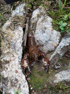 Noble Crayfish — Nicolas Lamkin