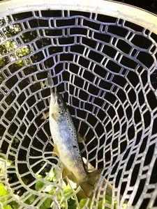 Brown Trout — Kenichi Hajime no Fishing