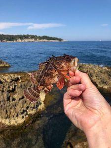 Brown Scorpionfish