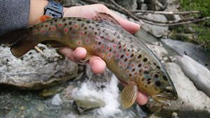 Brown Trout — David Gaidet