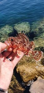 Red Scorpionfish — Thibault Dominguez