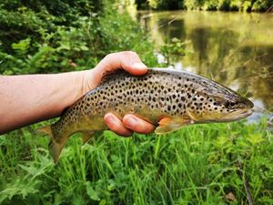 Brown Trout — Alexis  Warin