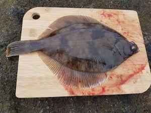 European Flounder — Julien A