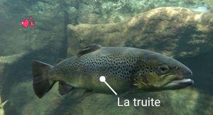 Common Trout — perchattaque 69 (youtube)