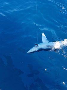 Requin Bleu (Peau Bleue) — Patrick Bouland