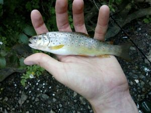 Brown Trout — Pelo Serrato