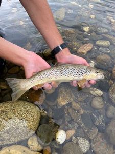 Brown Trout — Pescaïre 31