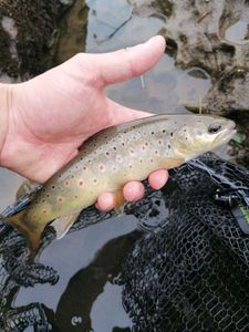 Brown Trout — Jerome Arnold