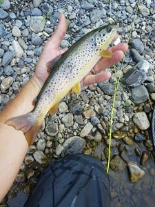 Brown Trout — Fabrice G73