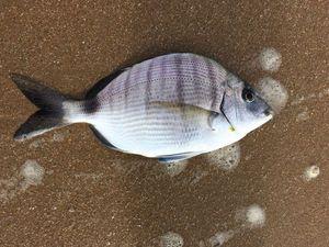 White Seabream