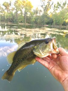 Largemouth Bass — Greg De Serra