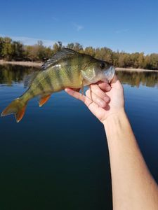 European Perch — Guigz Fishing