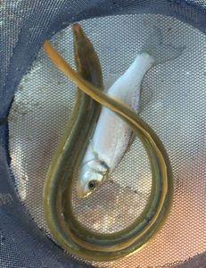 European Eel (Common Eel)