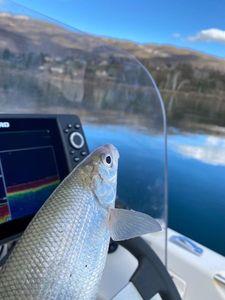 European Whitefish — Titou Victor