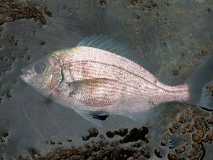 Black Seabream — Andy LGL