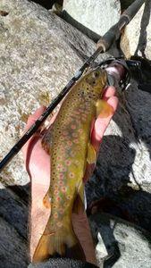 Brown Trout — Eugenio Boggio Marzet