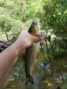 Chub — Robin Monkey Fishing