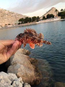 Red Scorpionfish — Adrien Baugiraud