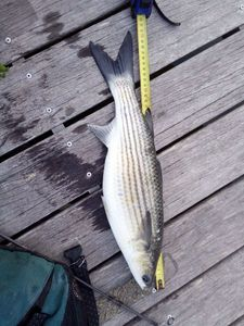 Thicklip Grey Mullet — Youn AFC