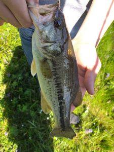 Black Bass (Achigan à Grande Bouche) — Thibault  Lesburgueres