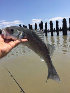 European Bass (Seabass) — Romain Tellier