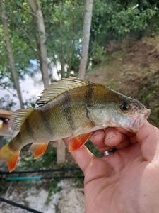 European Perch — Xavier Martinet