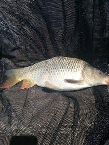 Common Carp — cool fishing 86