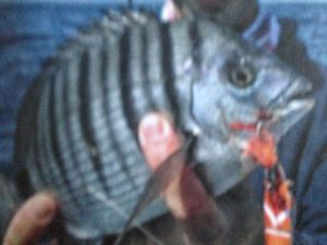 Fork-Tailed Threadfin Bream