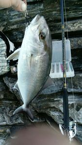 Greater Amberjack — Vincent  Vezzoso