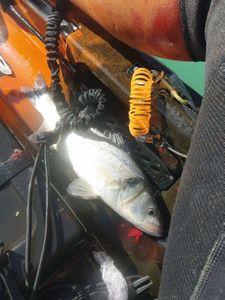 European Bass (Seabass) — Bastien Cavelier